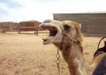 Angry camel severs owner's head!