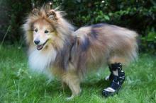 Bionic legs turn ailing dog into 'Robo-Dog'
