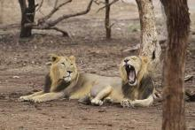 lions condemned to life in captivity for killing humans