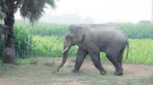 Assam team to visit Bangladesh for bringing back elephant