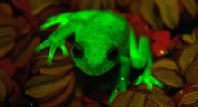 1st fluorescent frog found in Argentina