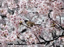 Cherry blossoms lure admirers around north Asia