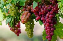 Grape compounds can kill colon cancer cells: Research