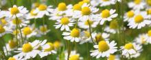 Slow down ageing with chamomile