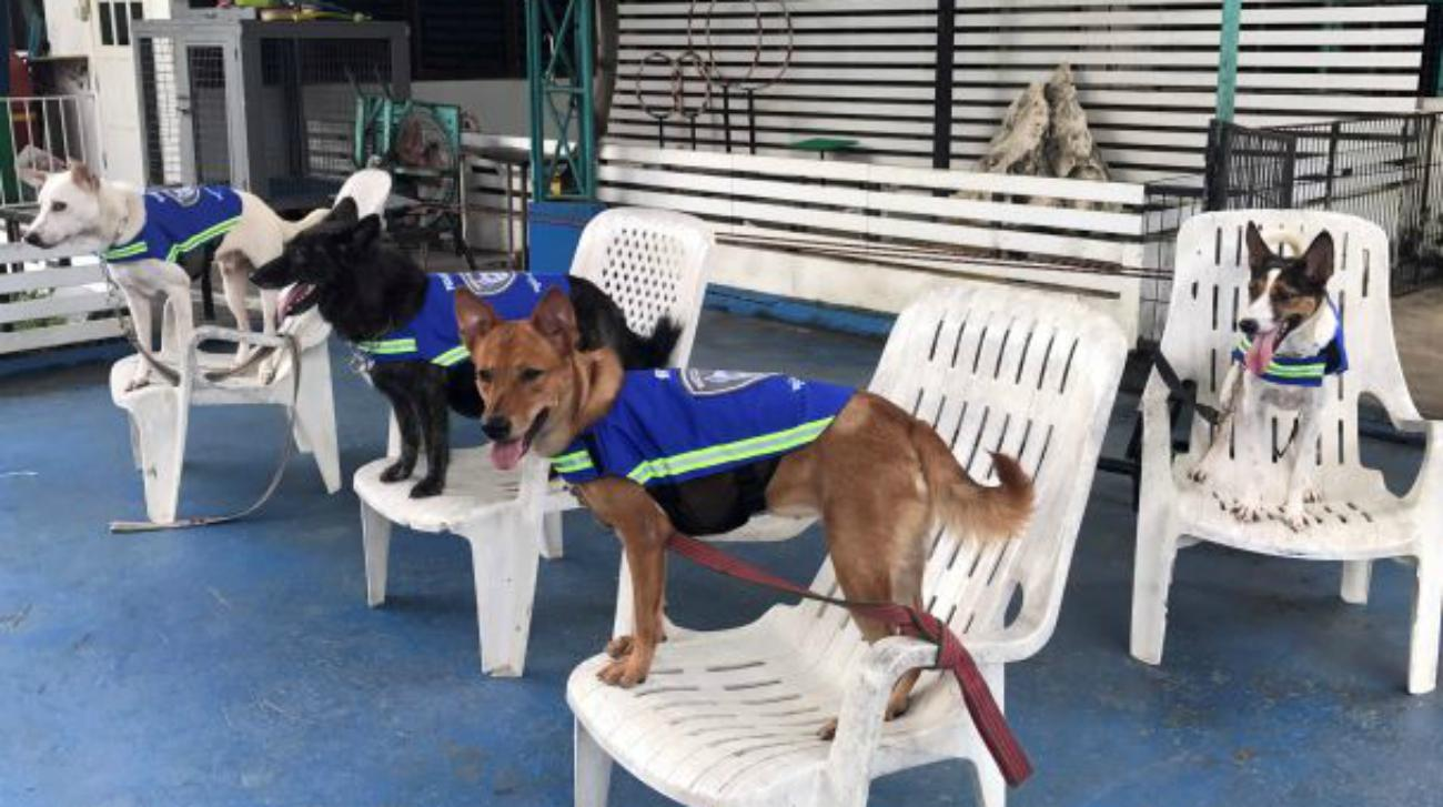 'Smart vest' turns stray dogs into Thailand's street guardians