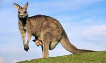 Australians urged to eat kangaroo meat