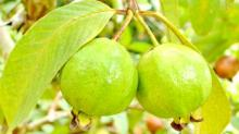 15 amazing guava benefits