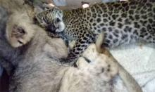 2 men held with four tiger cubs