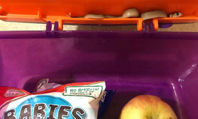 Venomous snake turns up in Australian lunchbox