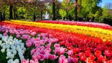 The breathtaking beauty of the Dutch tulip season will leave you spellbound