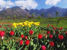 The treasury of tulips in Kashmir