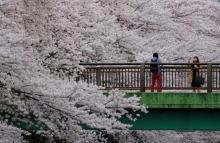 Cherry blossom: Rage of colour