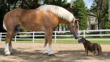 Meet the tallest and smallest horse in the world