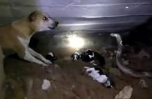 Dog fights poisonous cobra to save her puppies!