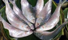 Govt bans hilsa for 22 days from Oct 7
