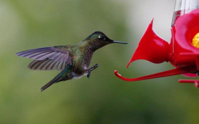New species of hummingbird spotted