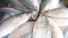 22-day ban on Hilsa catching begins