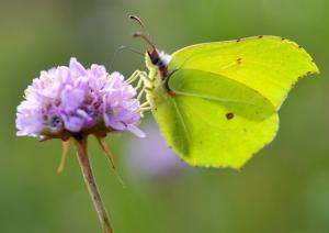 A common brimstone butterfly (Gonepteryx rhamni) rests on a flower on July 6, 2017 in Wannichen, eastern Germany.