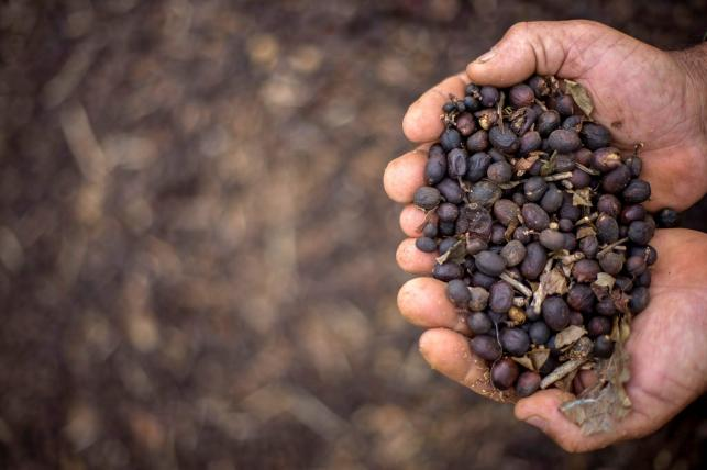60 per cent of coffee varieties under threat: Scientists
