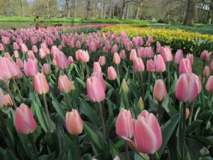 A picture taken on April 12 shows tulips at the world\'s largest bulb garden of Keukenhof in Lisse. Millions of bulbs have blossomed in a riot of colour from Delft blues to reds and porcelain whites, drawing huge crowds to an annual Dutch springtime rite at the renowned Keukenhof gardens. The world\'s largest bulb garden, which boasts some seven million flowers, has depicted in flowers this year\'s theme of the Netherlands Golden Age. AFP Photo