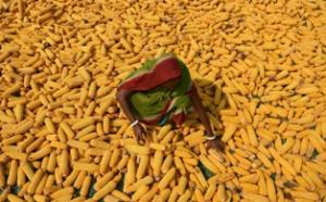 An Indian farmer spreads maize husks to dry in a field in Morigaon district, some 70kms east of Guwahati on April 30, 2016. Maize is India\'s third most important cash crop after wheat and rice.  AFP photo