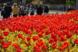People walk past flower beds of tulips near Buckingham Palace, central London on May 4. AFP Photo